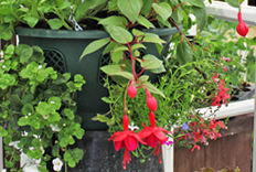 Plant up hanging baskets